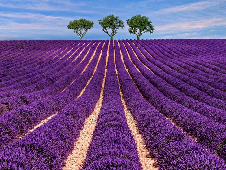 Lavender fields in Provence.
